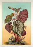Begonia Rex var. Imperator