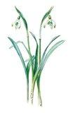 'Galanthus nivalis maximus of van Tubergen'