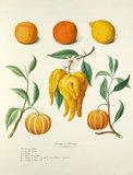 'Oranges et Citrons'