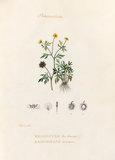 'Renonculacées. Renoncule des champs. Ranunculus arvensis'