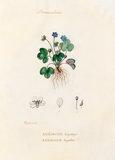 'Renonculacées. Anémone hépatique. Anemone hepatica'