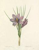 Crocus sativus : Safran cultive