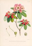 'Rhododendron candelabrum'