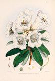 'Rhododendron dalhousiae'