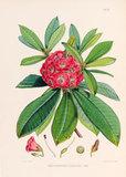 'Rhododendron barbatum'