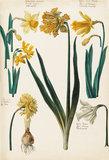 Narcissus flavus