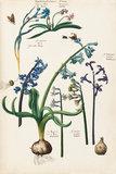 Hyacinthus flo Caeruleo