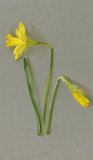 'Narcissus ajax nanus'