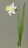 'Narcissus ajax J B M Camm'