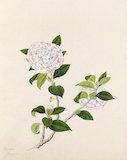 [Camellia japonica]