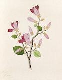 'Magnolia purpurea' [Magnolia liliflora]