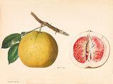 Djerock Siematjan [Citrus × paradisi - pink fleshed]