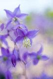 Thalictrum delavayi var. mucronatum