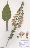 Herbarium specimen of Digitalis purpurea L. subsp. heywoodii P.Silva & M.Silva