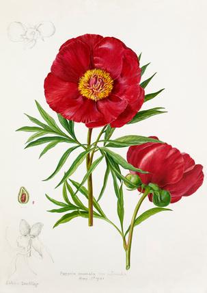 Paeonia anomala var. intermedia