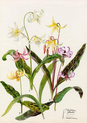 Erythronium varieties