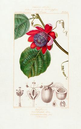 Tableau LVI. Methode naturelle de M. De Jussieu