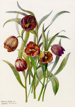 Fritillaria califolia