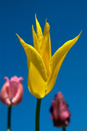 Tulipa 'West Point'