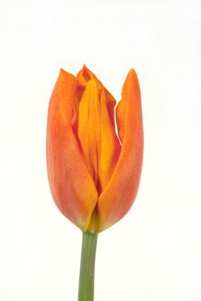 Tulipa 'Fidelio'
