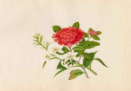Ixora coccinea, Hosta plantaginea