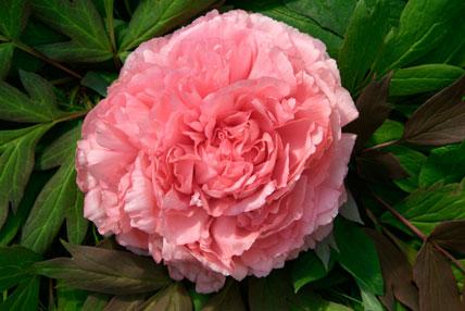 Paeonia suffruticosa 'Comtesse de Tudor'