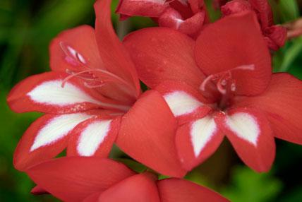 Gladiolius cardinalis