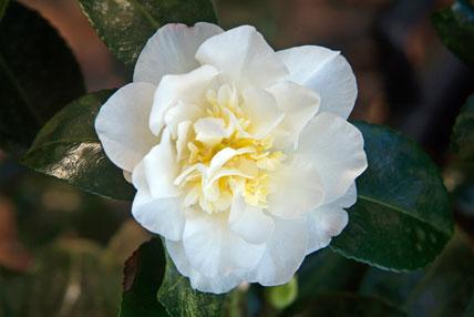 Camellia sasanqua 'Gaysue'