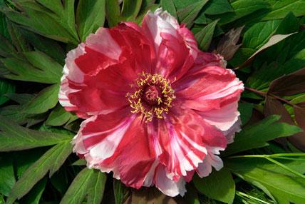 Paeonia suffruticosa 'Shimanishiki'