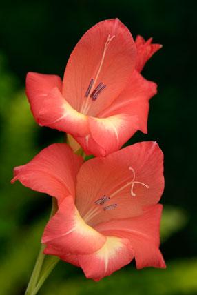 Gladiolus garnieri