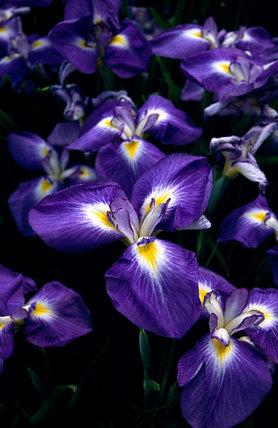 Iris ensata 'Mancunian'