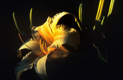 Hemerocallis 'Ruffled Apricot'
