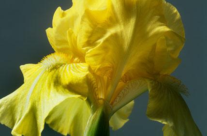 Iris 'Sherbet Lemon'