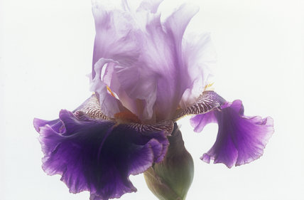 Iris 'Ringo'