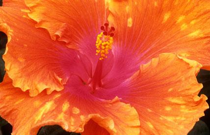 Hibiscus rosa-sinensis 'Gross Tête'