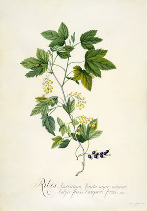 Ribes Americana fructu nigro minimo, Calyce floris campani formi