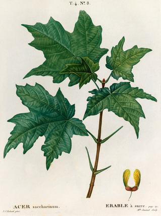 Acer saccharinum, Erable a sucré