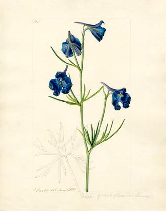 Delphinium grandiflorum var. chinensis