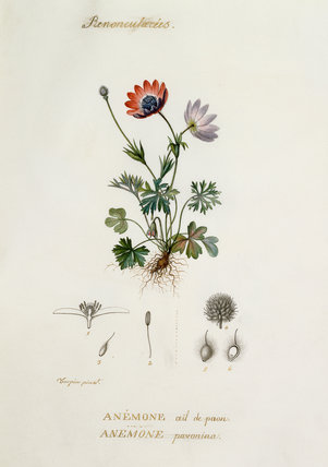Anemone , Oeil de paon, Pavonina
