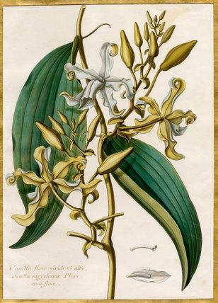 Vanilla flore viridi et albo