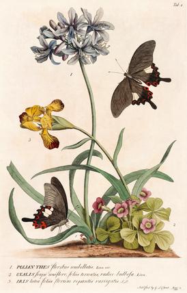 1. Polyanthes, 2. Oxalis, 3. Iris