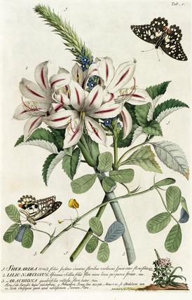 1.Sherardia, 2. Lilio-Narcissus, 3. Arachidna