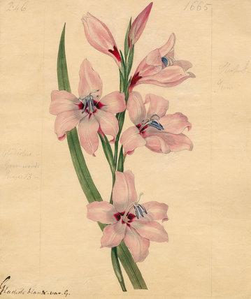 Gladioli blandi. var G.