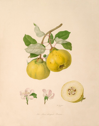 Pear shaped Quince