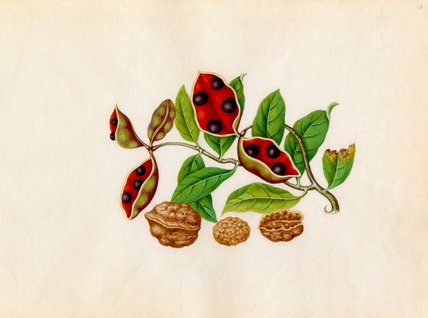 Sterculia monosperma, Juglans regia
