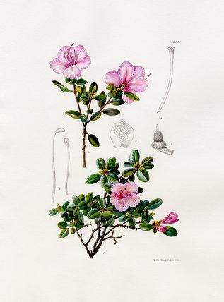 Rhododendron dauricum var. sempervirens