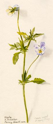 Viola v. tricolor