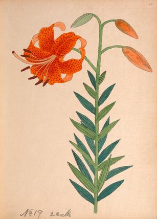 Lilium leichtlinii var. maximowiczii