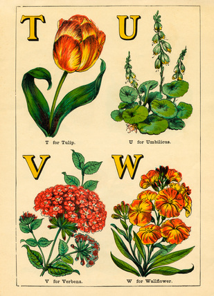 T for Tulip, U for Umbilicus, V for Verbena, W for Wallflower