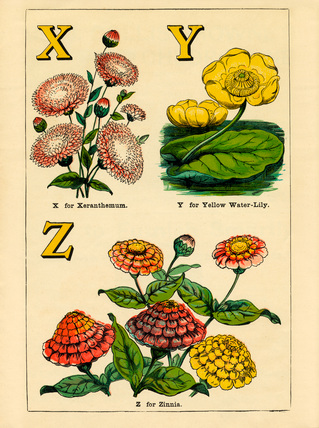 X for Xeranthemum, Y for Yellow Water-Lily, Z for Zinnia